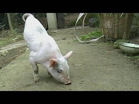 Вьетнамская свинка упала на ноги. отказывают ноги у поросят – причины и лечение. болезнь тешена, или полиомиелит