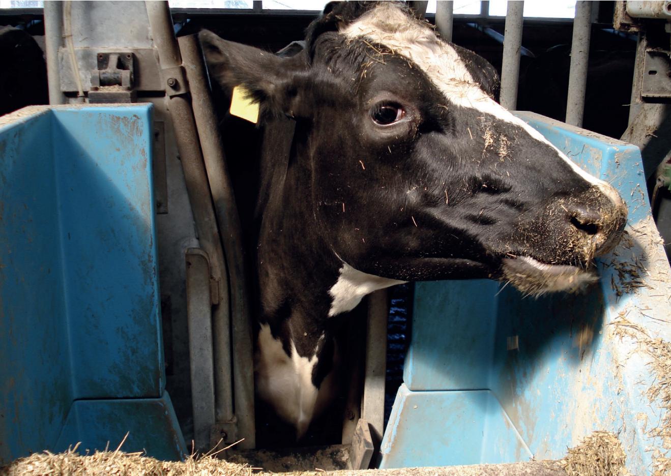 Как помочь корове при отравлении