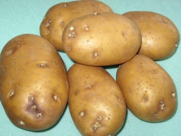 Все о сорте картофеля колобок: описание и фото, особенности выращивания и ухода и другие нюансы