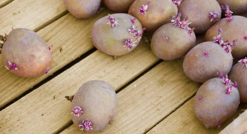 Как прорастить картофель перед посадкой: основные способы и правила