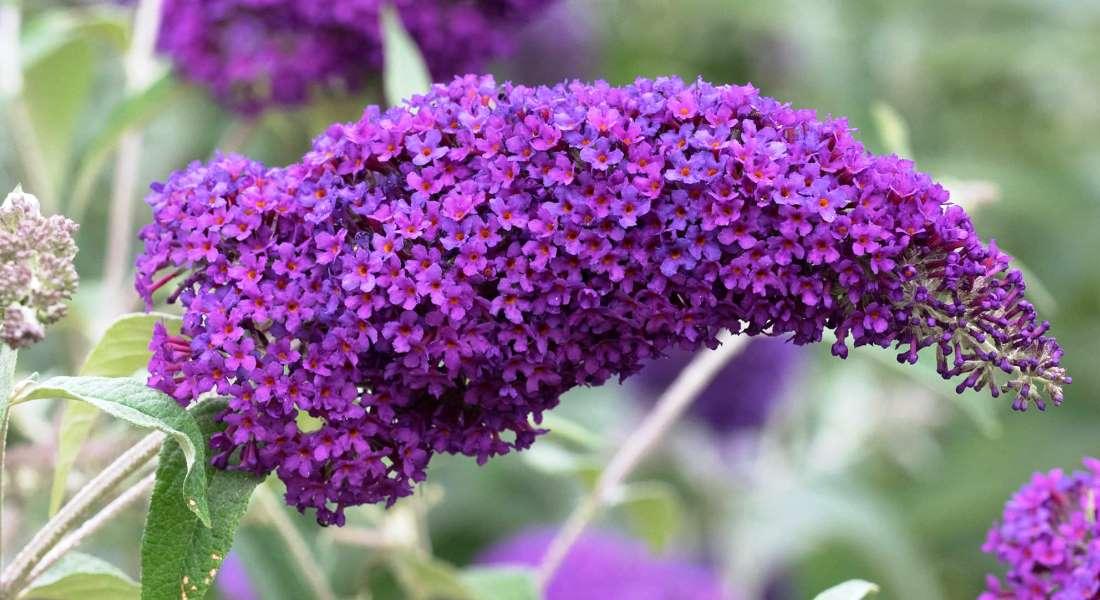 Кустарник будлея: основные виды и сорта, буддлея пурпурная, посадки и уход за кустарником