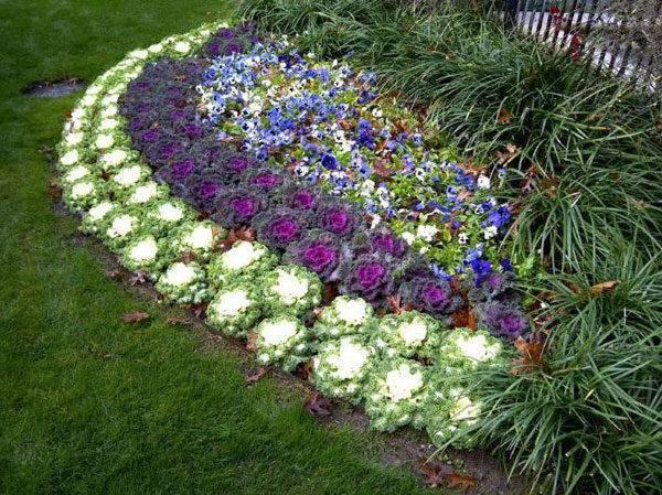Декоративная капуста польза, применение, украшение, выращивание