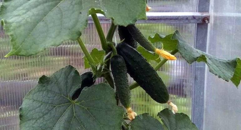 Гибрид огурцов «шоша f1»: фото, видео, описание, посадка, характеристика, урожайность, отзывы