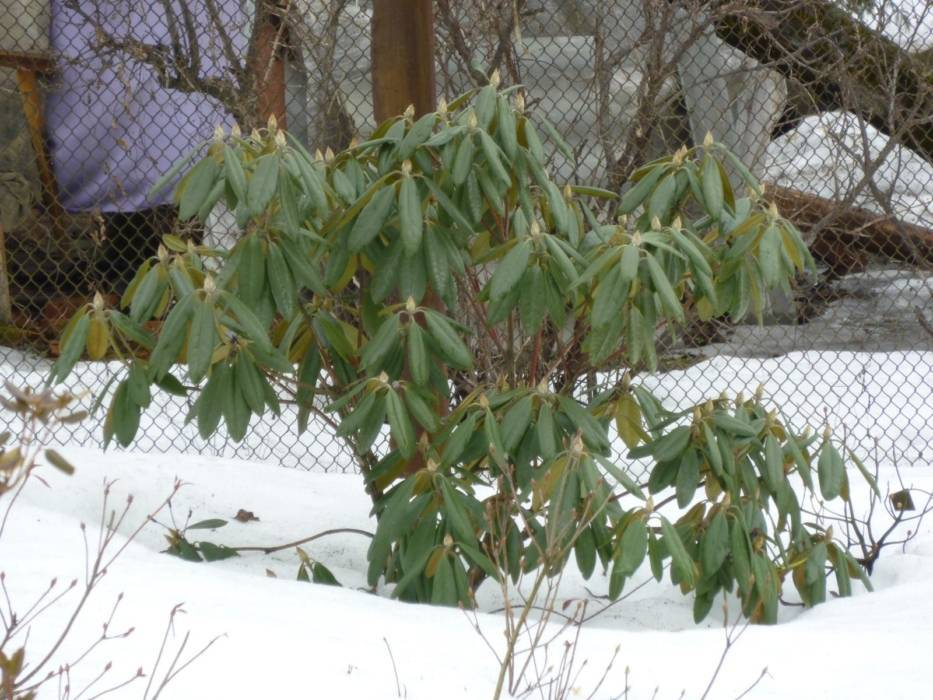 Рододендроны в Ленинградской области: лучшие сорта, выращивание