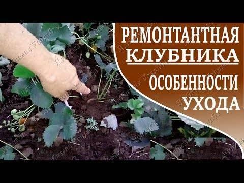 Садовая клубника: посадка и уход, фото, описание выращивания, обрезка и размножение