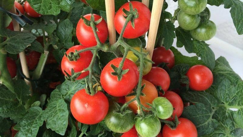 Томат сумочка: характеристика и описание сорта, урожайность с фото