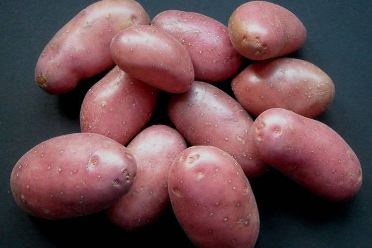 Отличительные качества сортового картофеля розара