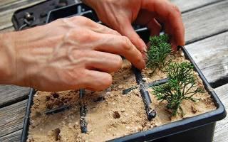 Как размножить можжевельник : быстрый и легкий способ и ещё 3 варианта для разных видов и сортов, особенности размножения в домашних условиях