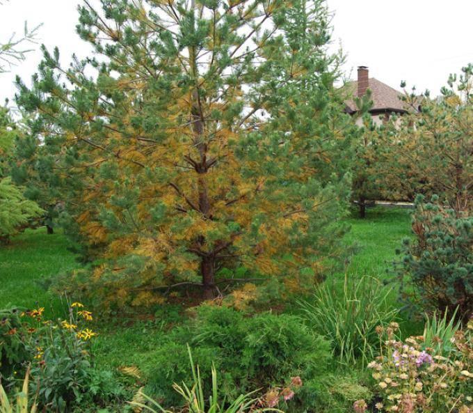 Белый налет, желтая хвоя, усыхающие ветви: как бороться с болезнями сосны