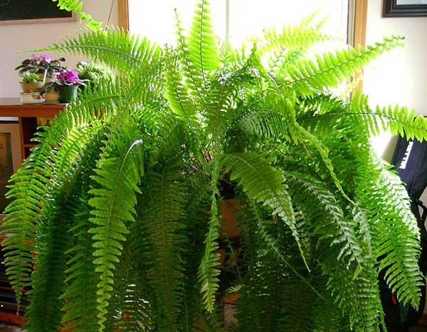 Особенности ухода, размножения и строения садового папоротника