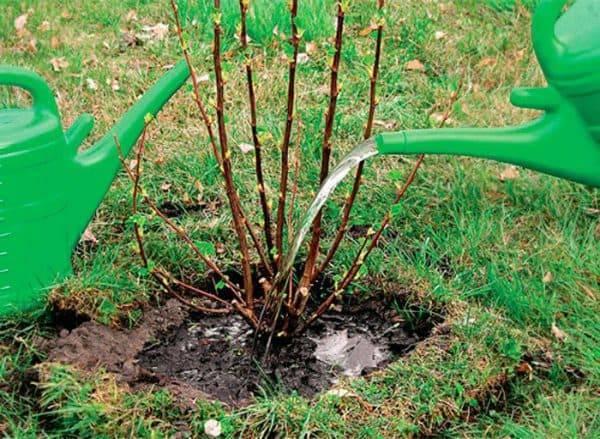 На смородине скручиваются и сохнут листья: в чем причина? что делать и чем обработать смородину, если листья скручиваются