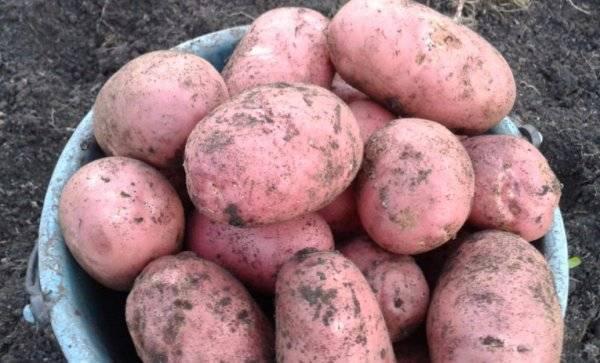 Картофель кроне: описание сорта, фото, отзывы