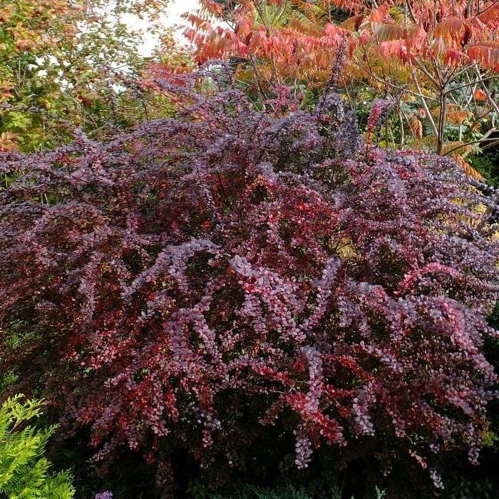 Барбарис обыкновенный (47 фото): описание, посадка и уход за кустарником, выращивание berberis vulgaris с зелеными листьями, размножение черенками
