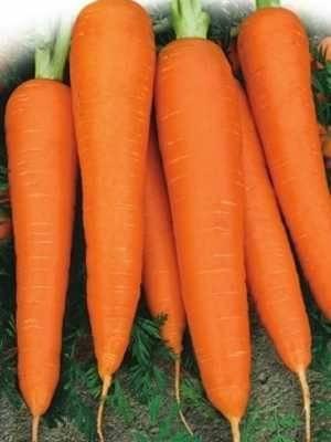 Полная характеристика и особенности выращивания моркови сорта «лосиноостровская 13»