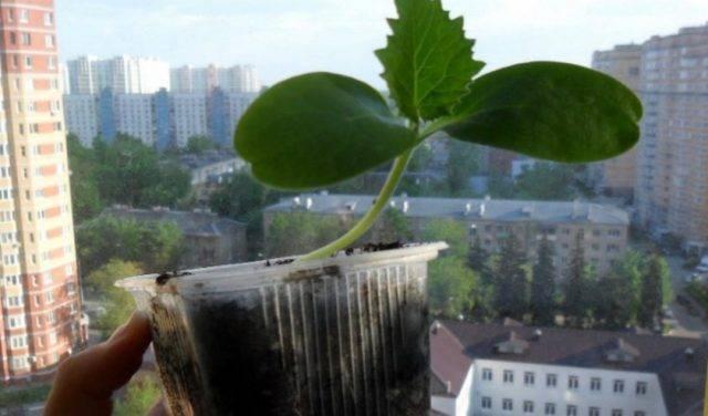Что такое огурдыня и как ее вырастить в открытом грунте?