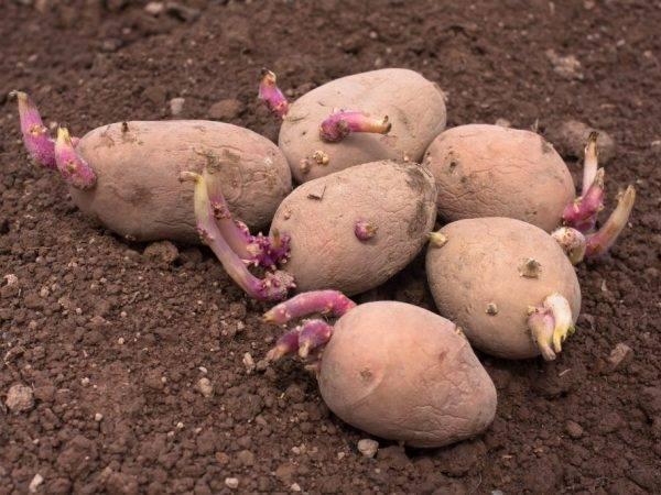 Как быстро прорастить картофель для посадки?