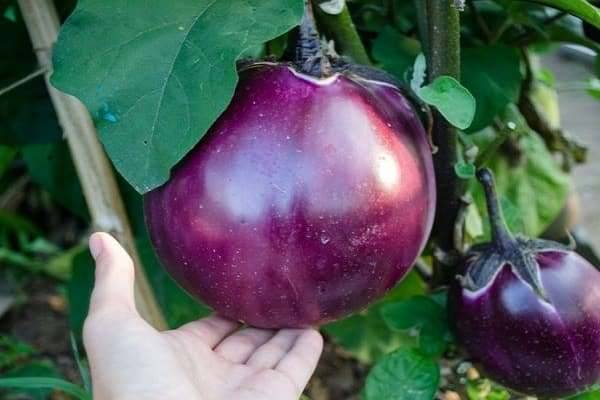 К каким сложностям нужно готовиться дачнику при выращивании баклажана «вкус грибов»?