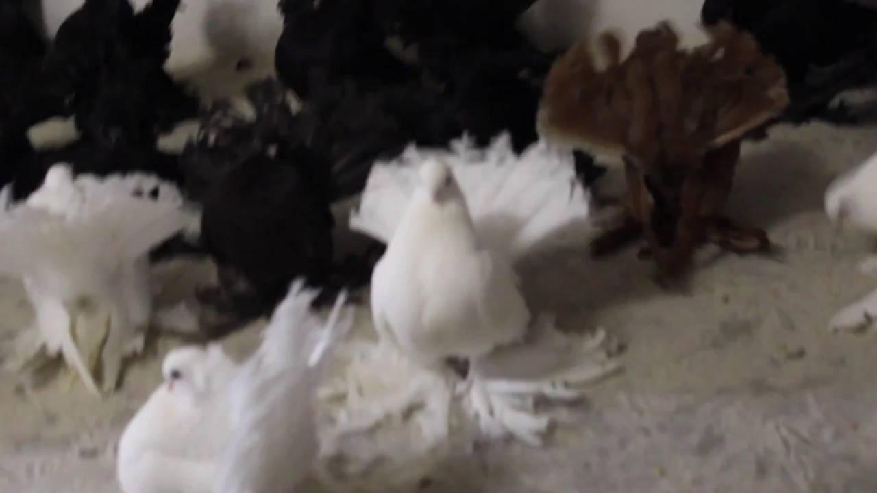 Статные (группа голубей) — википедия