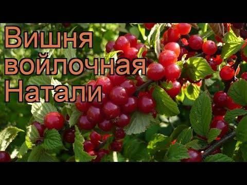 Декоративная и неприхотливая красавица — вишня сорта царевна войлочная
