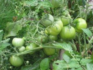 Томат бони мм: характеристика, описание сорта, отзывы, урожайность