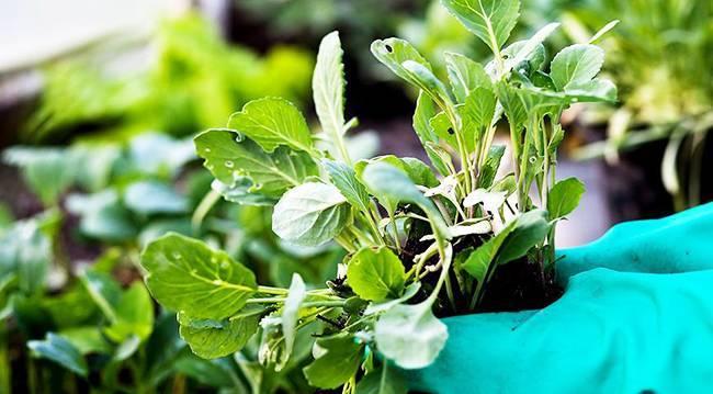 Описание, фото и характеристика капусты июньская. выращивание сорта и сбор урожая