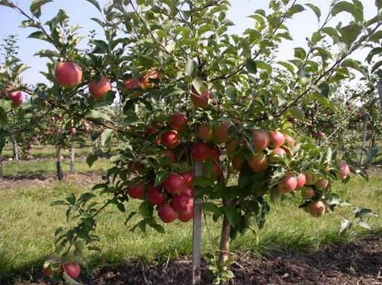 Яблоня чемпион: описание и характеристики сорта, виды, выращивание и уход с фото