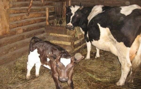 Корова прокровила после осеменения: почему, что делать
