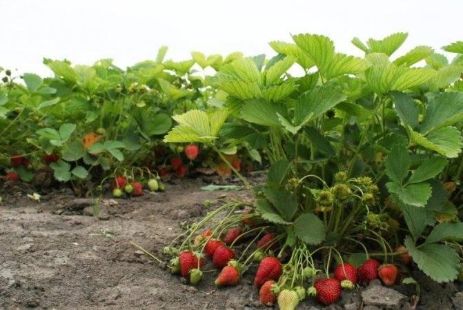 Как вырастить клубнику полку? описание сорта