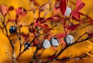 Как посадить голубику осенью: пошаговое руководство