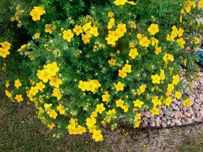 Лапчатка голдстар: описание кустарникового сорта, правила посадки и ухода