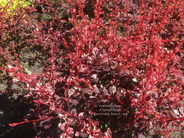 Барбарис инспирейшн (berberis thunbergii inspiration)