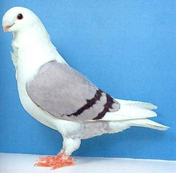 Описание некоторых пород голубей