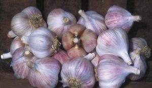 Чеснок добрыня: описание и характеристика сорта, урожайность с фото