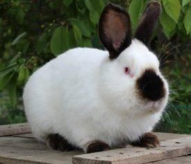 Калифорнийские кролики: описание породы, разведения и содержания в домашних условиях