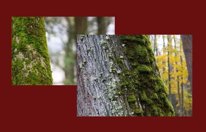 Лишайник на участке. нужно ли снимать лишайник с деревьев и кустарников?
