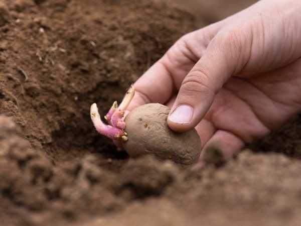 Картофель ред фэнтези. картофель «ред фэнтези» – описание сорта, отзывы, выращивание и уход