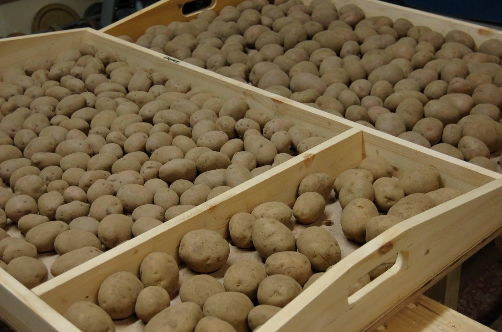 Картофель скарб: описание популярнейшего белорусского сорта и секреты хорошего урожая
