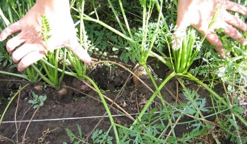 Особенности ухода и выращивания моркови алтайская лакомка