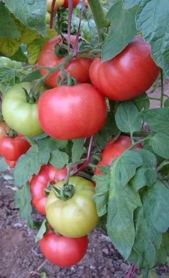 Лучшие сорта томатов и их характеристики