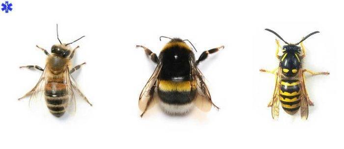 Ребенка укусила пчела что делать. первая помощь при укусе пчелы