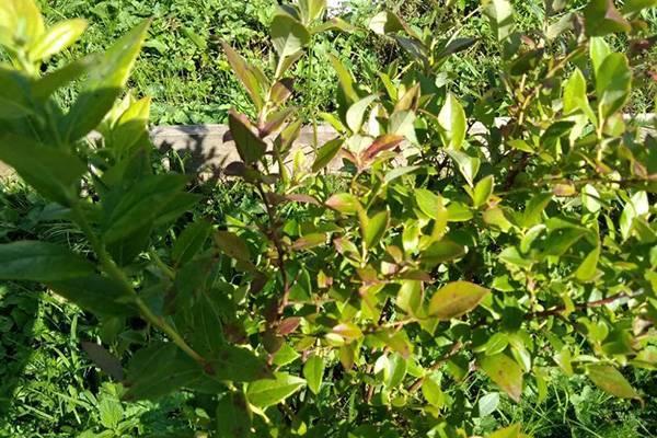 Голубика: выращивание и правильный уход. какие сложности могут возникнуть при выращивании голубики на садовом участке?