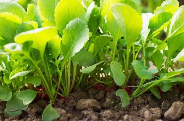 Выращивание редиса: агротехника овоща для открытого грунта и теплицы, а также как правильно посадить и прореживать, можно ли пикировать, каким образом ухаживать?