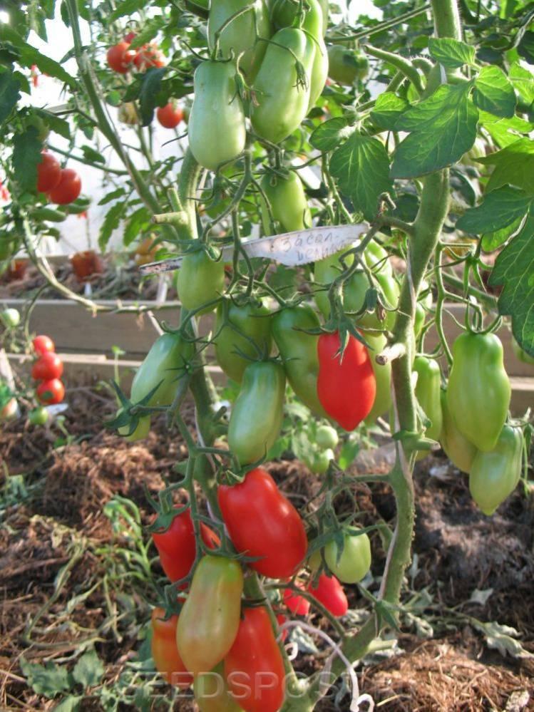 Томат холодостойкий засолочный деликатес: урожайность, описание, агротехника, отзывы