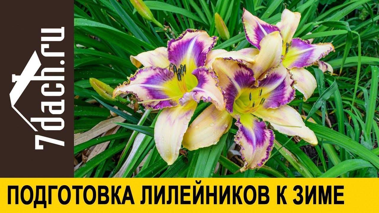Лилейник бонанза - мои фотографии - фотоальбомы - сад эдем