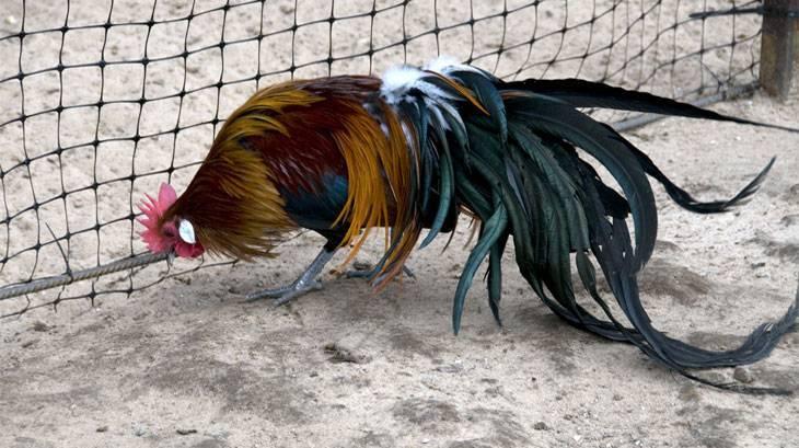 Феникс: порода кур