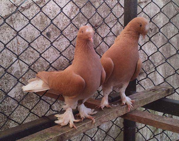 Чем отличаются голуби такла?