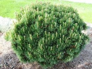 Растение сосна веймутова и ее особенности