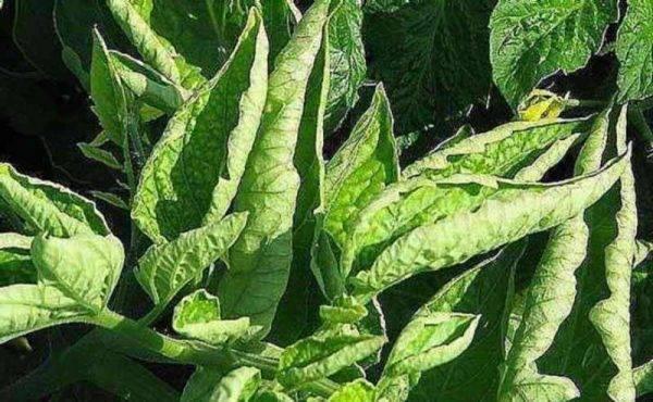Почему скручиваются листья у рассады помидор