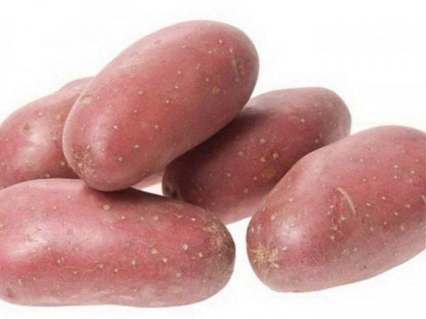 Описание сорта картофеля вектор — как поднять урожайность