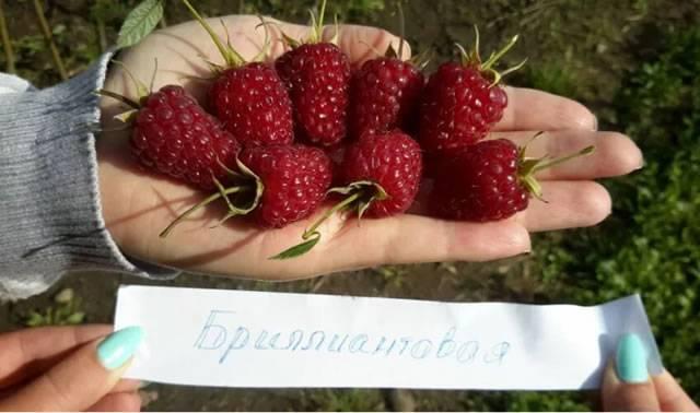 Выбор сорта и выращивание ремонтантной малины в сибири